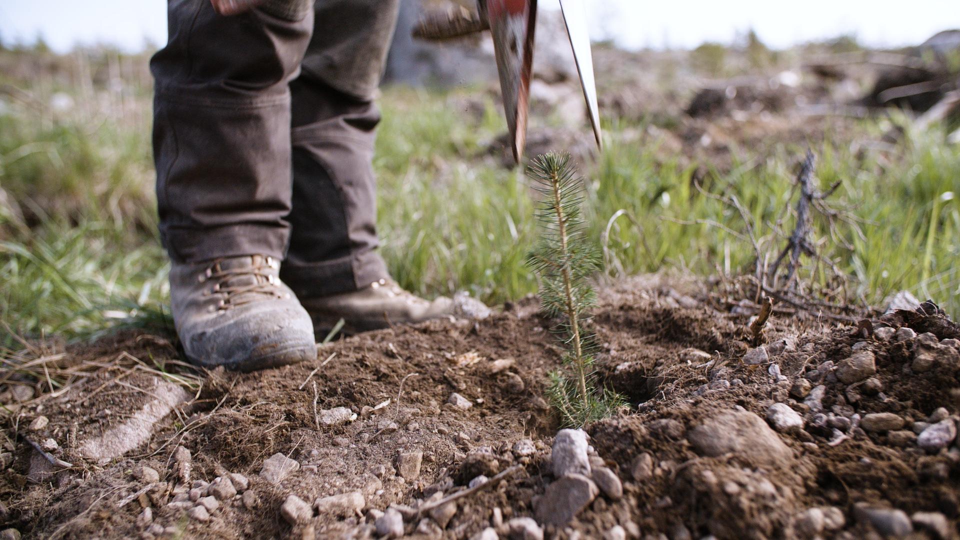 Hyvälaatuisilla taimilla ja siemenillä sekä ammattitaitoisten tekijöiden avulla varmistat hyvän alun uudelle metsällesi.