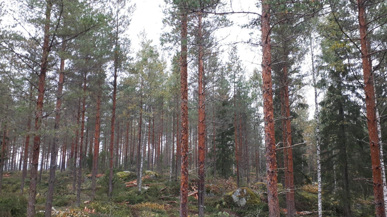 Ensiharvennuksessa metsästä poistetaan noin kolmasosa heikkolaatuisimmasta puustosta ja jätetään jäljelle parhaat rungot, jotta ne saavat paremmat olosuhteet kasvaa järeämmiksi rungoiksi.